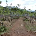 燕山板栗矮化密植园