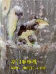 麻核桃树腐烂病,斑腐病图解