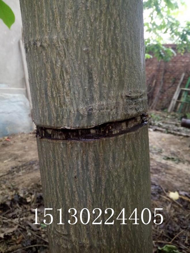 麻核桃树适当的环剥时间应该是5月下旬至6月上旬