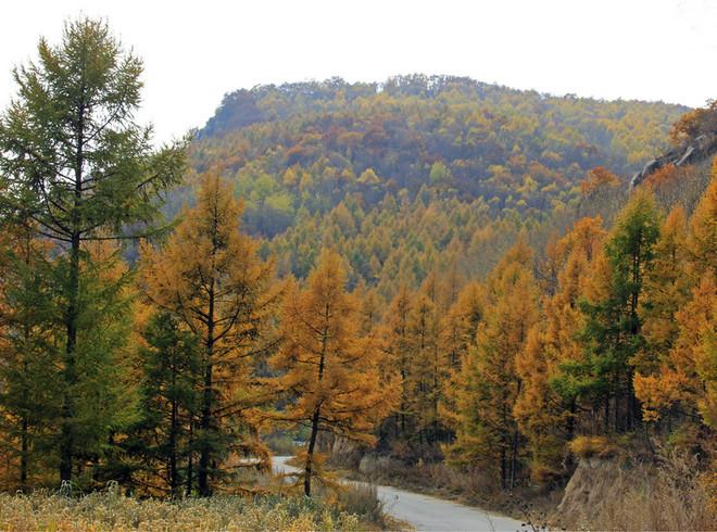 印象里松树常青,落叶是黑色