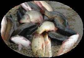 鲤鱼1.png